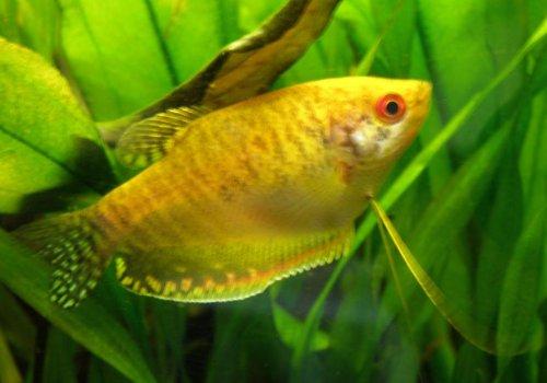 Гурами золотой (Trichogaster trichopterus gold)