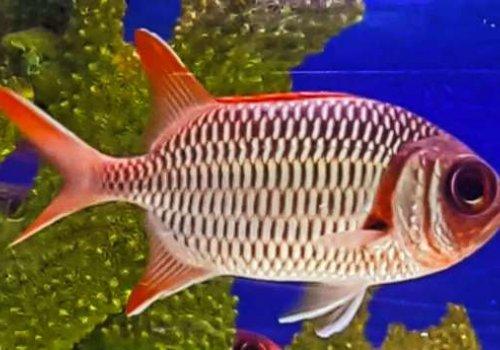 Рыба-солдат сетчатая (Myripristis violacea)