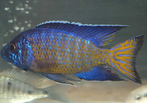 Аулонокара стюартгранти Галилея Риф (Aulonocara Stuartgranti Gallireya Reef)