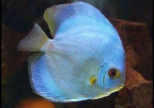 Дискус Голубой кобальт (Discus Cobalt blue)