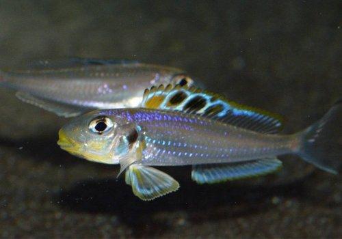 Ксенотиляпия батифилус (Xenotilapia bathyphilus Kekese)