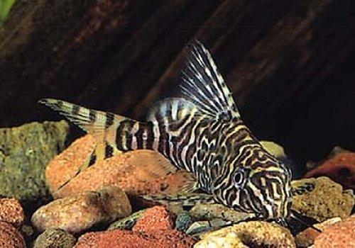 Синодонтис кружевной (Synodontis aterrima)
