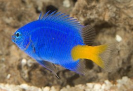 Yellow-Tail-Blue